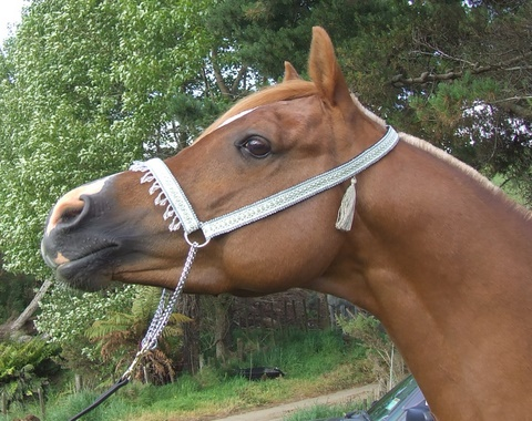 Arabian tasselled halters are now available