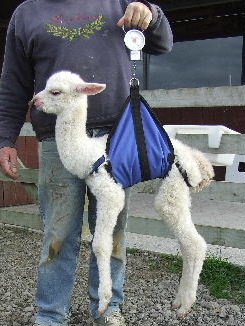 Weigh Sling Cria