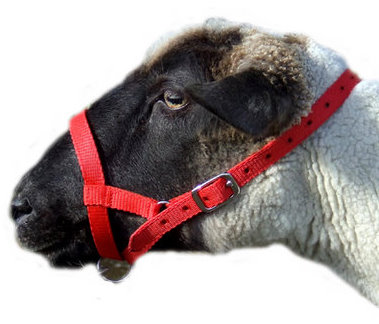 Sheep halter