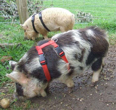 Pig Harness Animal Halters
