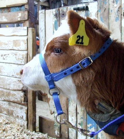 Halter Calf Leading Animal Halters